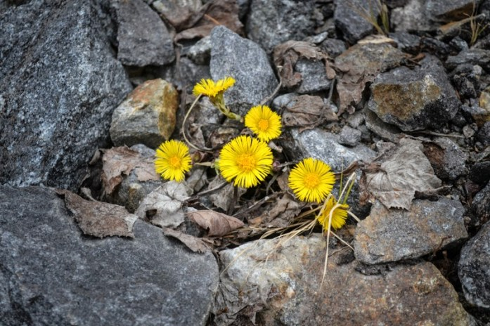 coltsfoot between grey rock