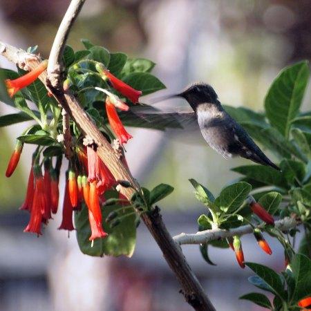 hummingbird-iochroma-P5102499