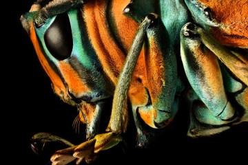 Sterotomis sp. (dettaglio) © Levon Biss