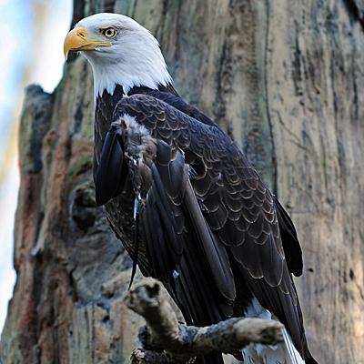 Bald Eagle - Shutterstock