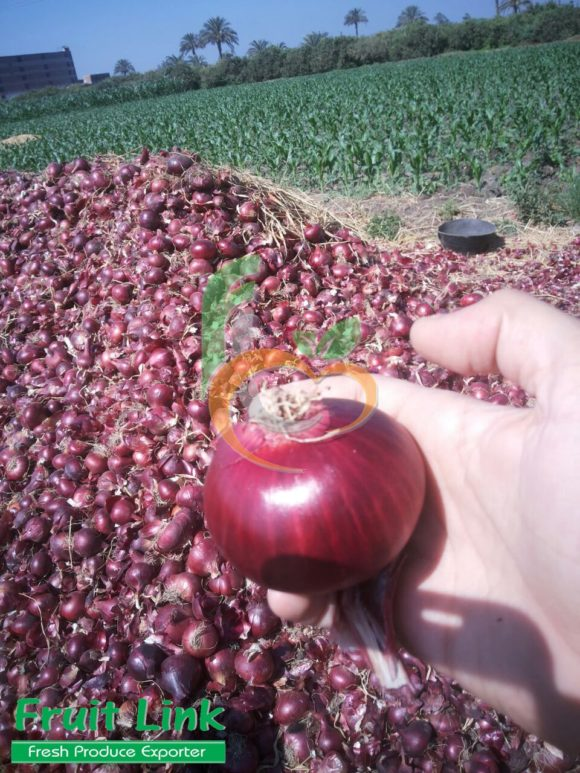 Italian Red Onion | Fruit Link