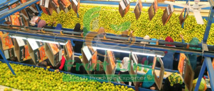 Egyptian Lemons are on the processing line before packing for export by Fruit Link
