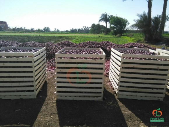 Red Onions - 550 Kg, Wooden bins   Fruitlink
