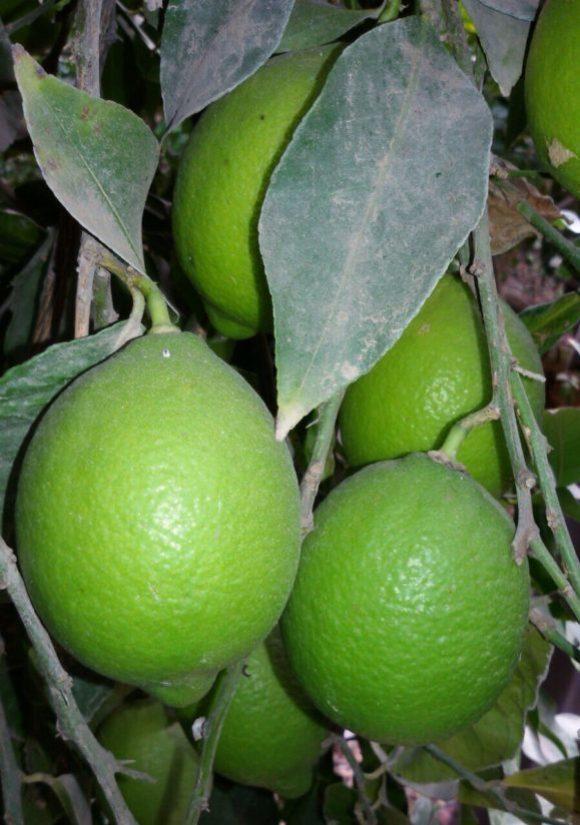 Egyptian Lemon tree from Fruit Link Farm