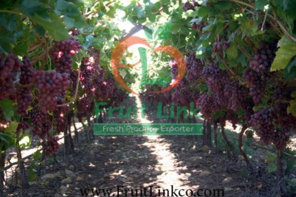 crimson grapes crop by fruit link