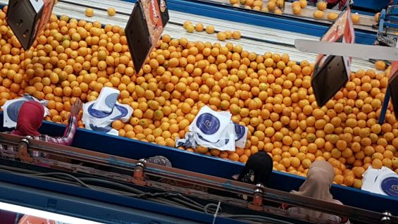 Fresh Navel Orange to China by fruit link