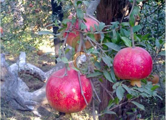 Egyptian Wonderful Pomegranate