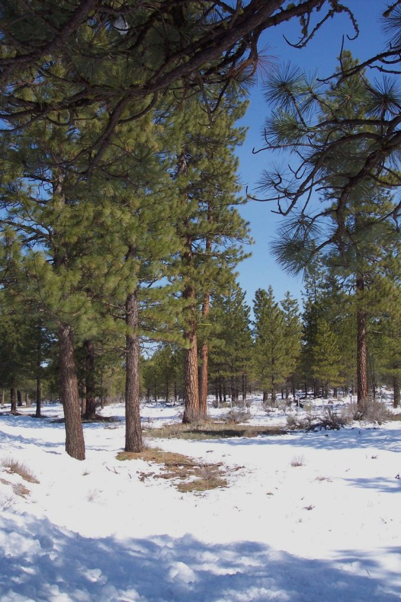 Ponderosa Pines in spring on Devil's Garden.