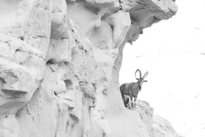 """Wild Ibex, Hingol National Park, Pakistan Fuji X-E2 . Fuji XF50-140mmF2.8 . 140mm . f/5 . 1/100"""" . ISO 200"""