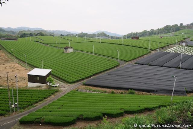 Field after field of tea