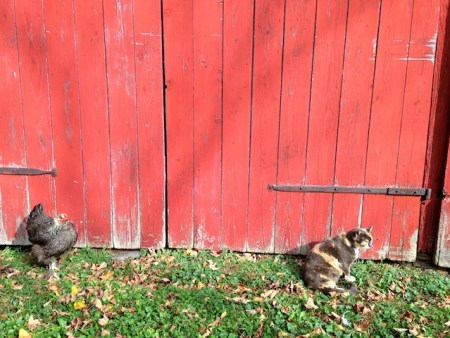 Minnie and gray hen grooming themselves in the sun.