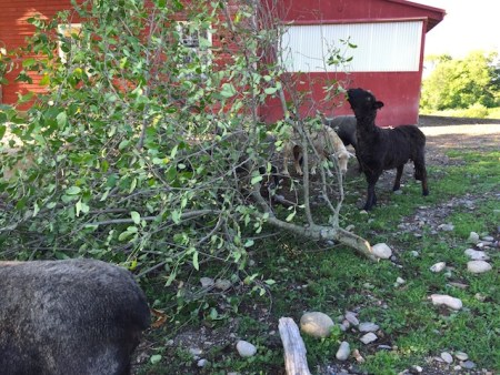 Yesterday we cut a broken branch off the apple tree and gave it to the animals to munch on. The sheep especially liked it. That's Izzy to the right getting her fill.