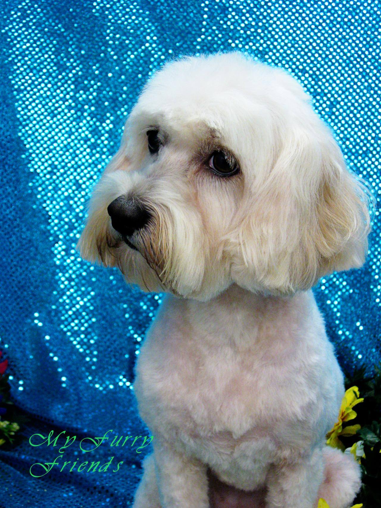 Upscale My Furry Friends Pet Grooming Self Serve Pet Wash Before After Maltese Puppy Cut Tutorial Maltese Dog Puppy Cut S bark post Maltese Puppy Cut