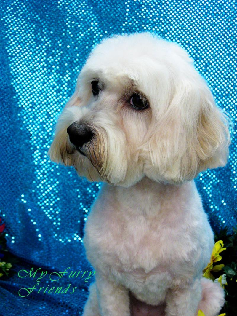 Large Of Maltese Puppy Cut