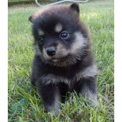 Small Crop Of Chow Husky Mix