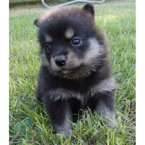 Medium Crop Of Chow Husky Mix