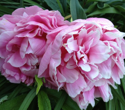 Mother's Favorite Flower, Double Pink Peonies