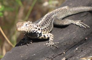 Galapagos Islands Lizard