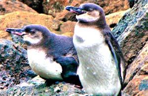 Galapagos-Penguins-300