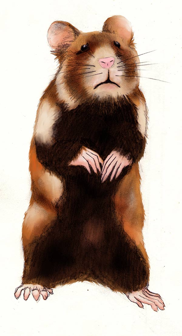 portrait du grand hamster d'alsace
