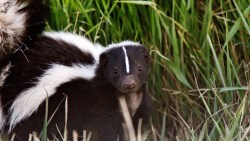 Small Of Get Rid Of Skunks
