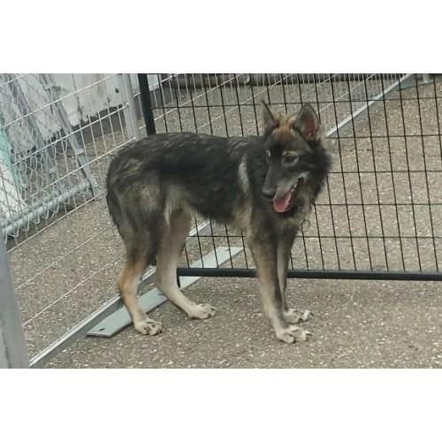 Medium Crop Of German Shepherd Wolf Hybrid