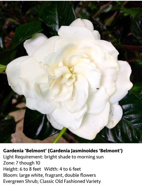 Medium Of August Beauty Gardenia