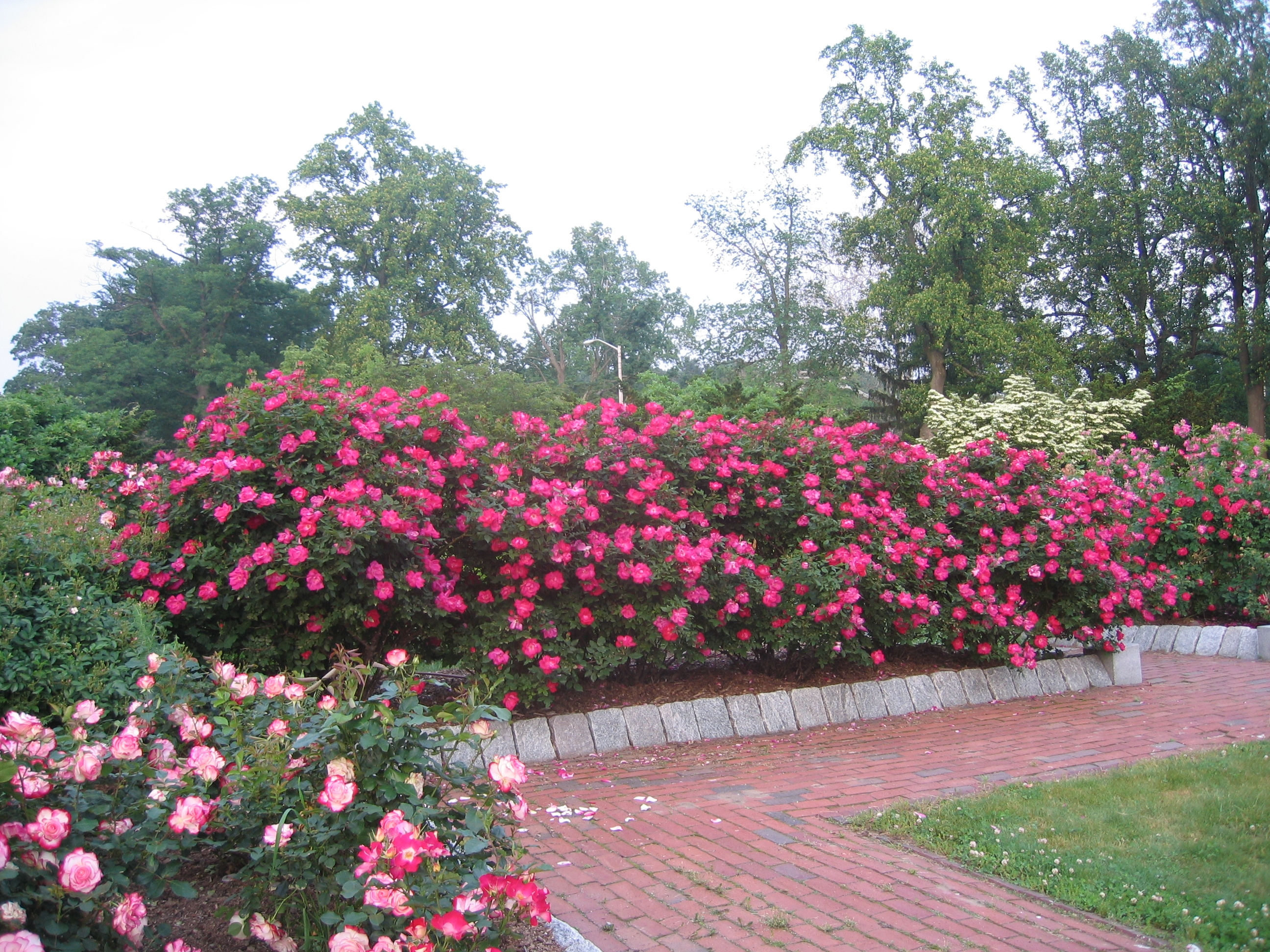 Fullsize Of When To Prune Knockout Roses