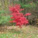 Japanese Maples for the Home Landscape