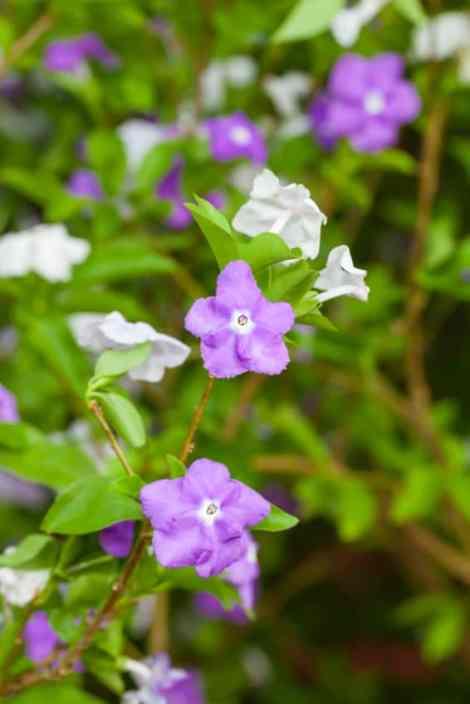 Yesterday Today and Tomorrow flower (Brunfelsia americana)