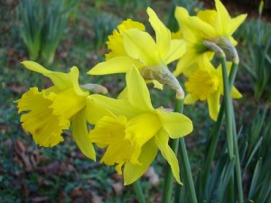 How to Plant Daffodils