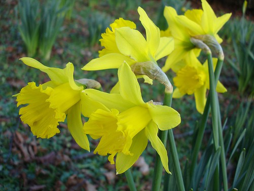 Care for Spring Bulbs