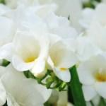 How to Grow Freesia Flowers