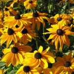 How to Grow Black-Eyed Susans