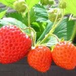6 Tips for Better Results Growing Strawberries