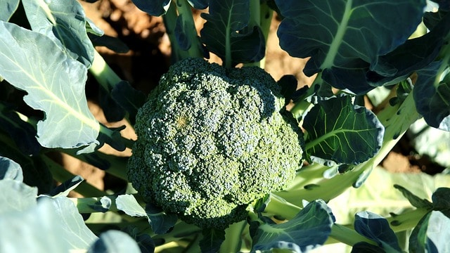 Grow Broccoli to Avoid Cabbage Pests
