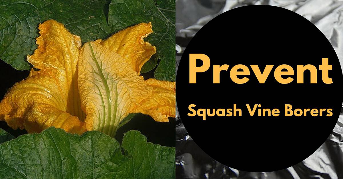 Prevent Squash Vine Borers With This Household Item