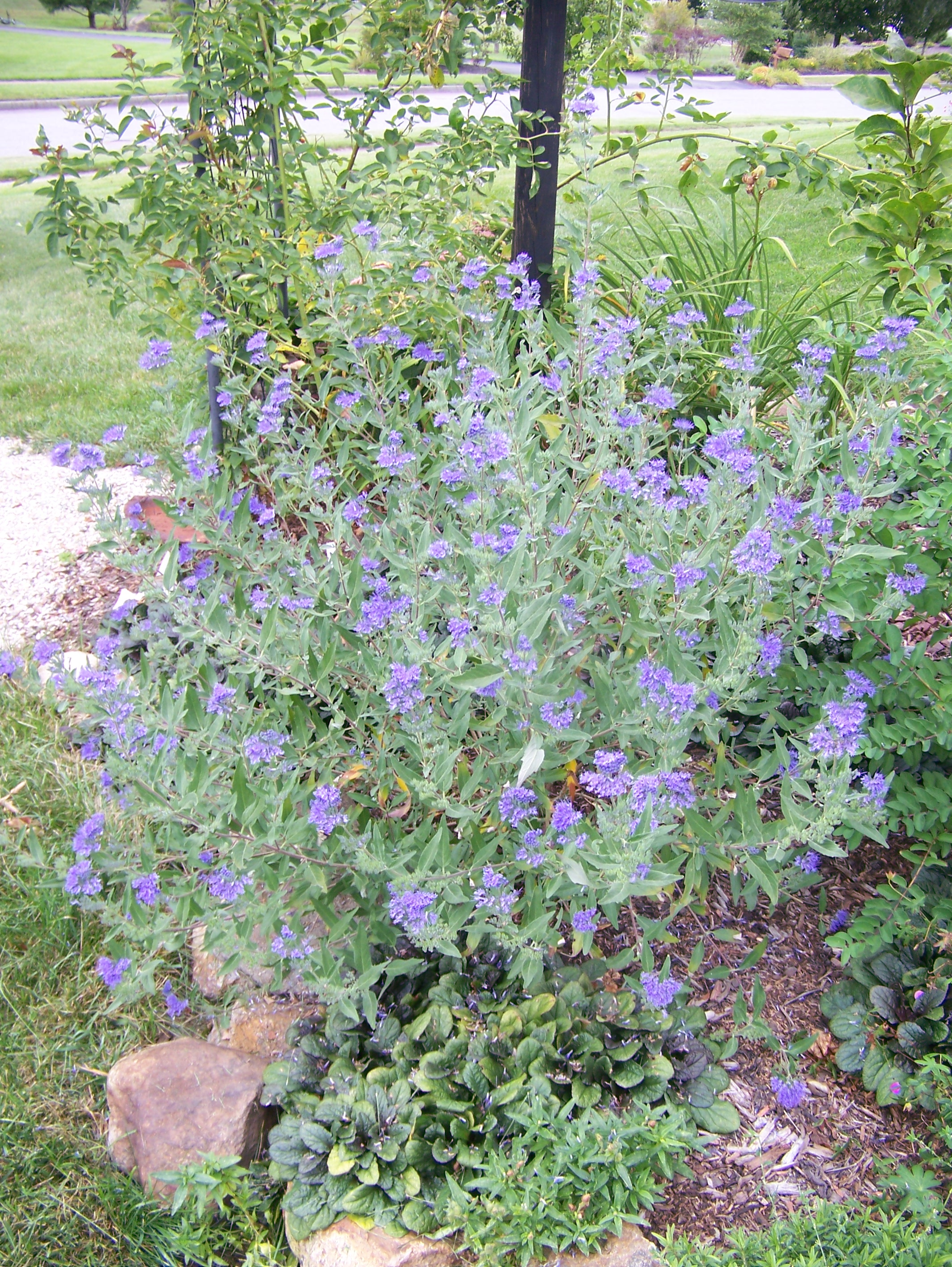Fullsize Of Blue Mist Spirea