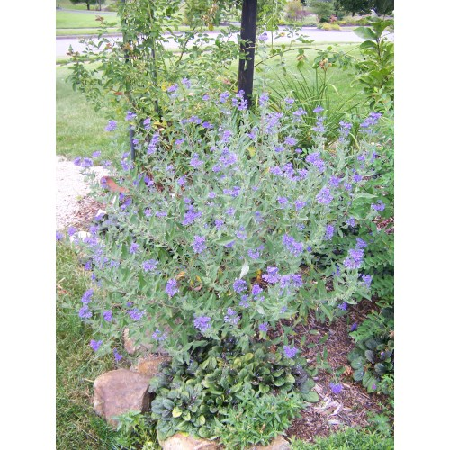 Medium Crop Of Blue Mist Spirea