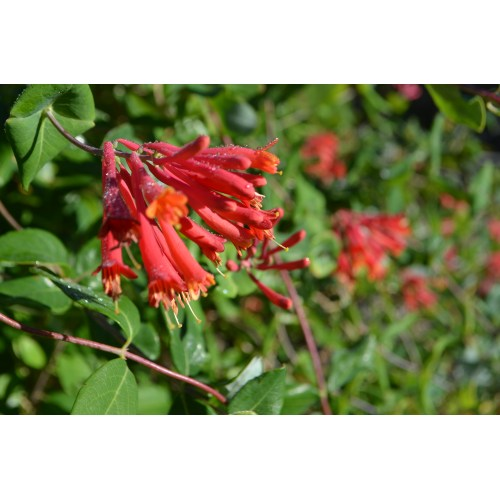Medium Crop Of Major Wheeler Honeysuckle