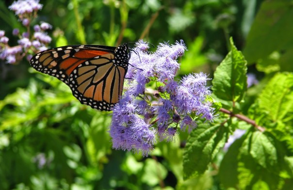 Monarch on hardy ageratum