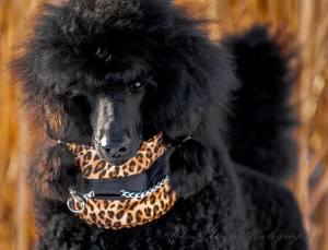 The Quilted Hound   Leopard Satin Signature   for coated breeds