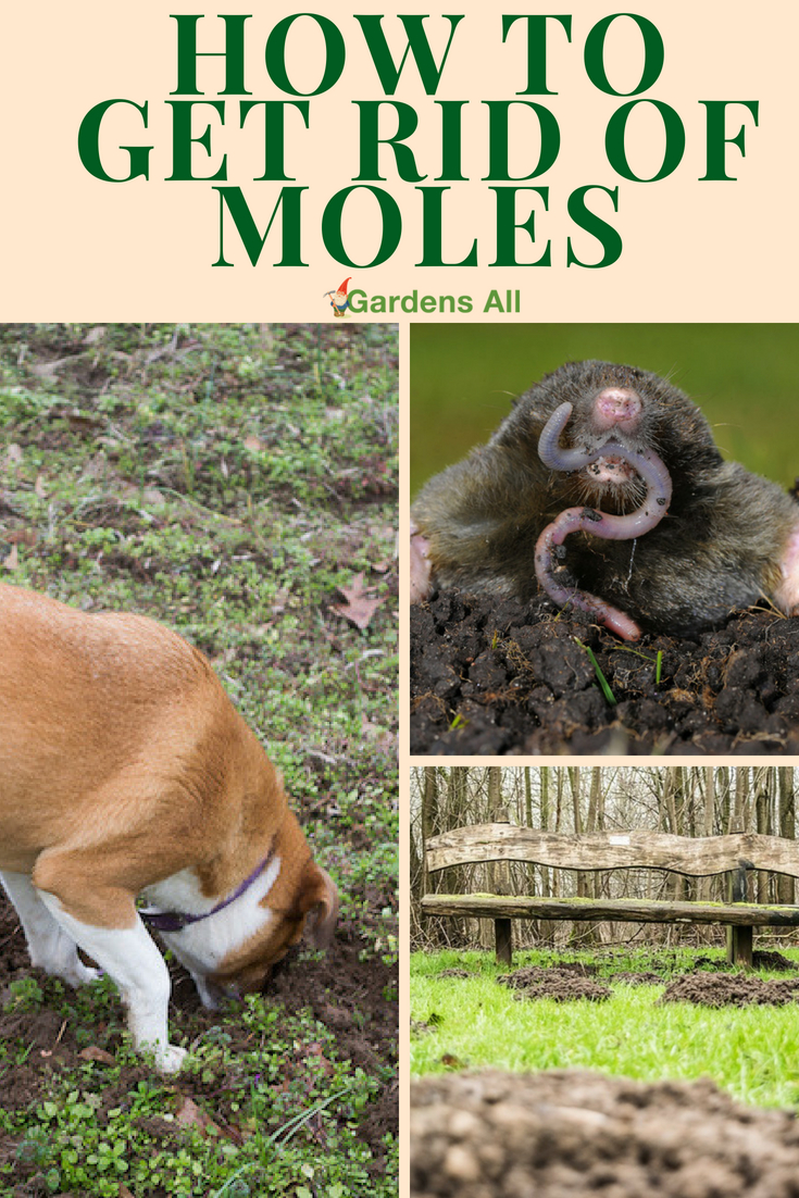Corner Moles Gardensall Tomcat Mole Killer Directions Tomcat Mole Killer Reviews If Had Your Garden Invaded Plants Destroyed By Moles Like We Have How To Get Rid houzz-03 Tomcat Mole Killer