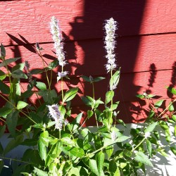 Small Of Agastache Blue Fortune