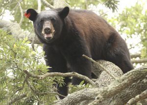 Bear in Orlando