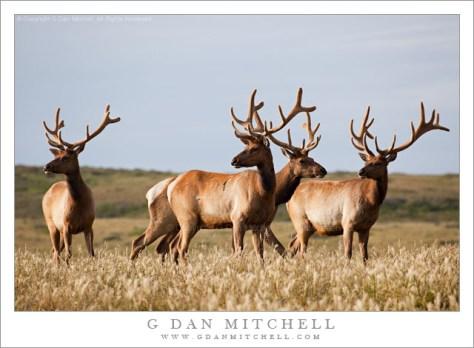 Four Tule Elk, Point Reyes - Four tule elk in the meadows at Point Reyes National Seashore.