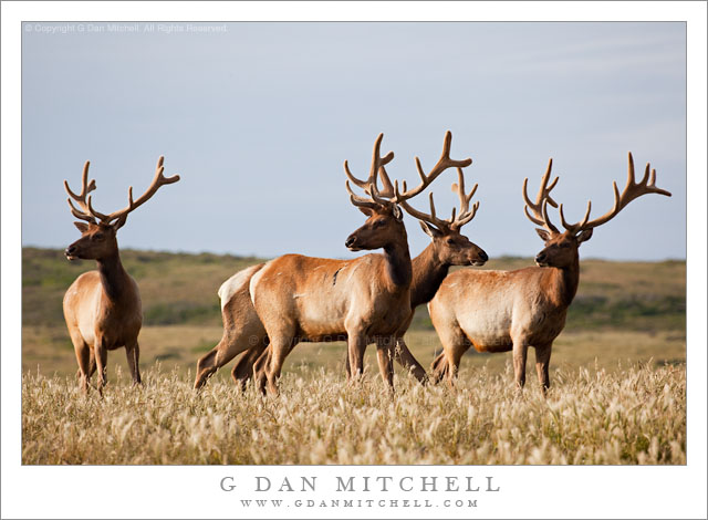 Four Tule Elk, Point Reyes