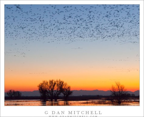 Bird-Filled Dusk Sky, Central Valley - The edge of a huge flock of geese fills the dusk sky above seasonal winter ponds in California's Central Valley.