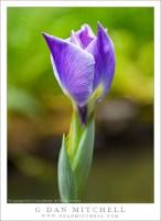 Iris Blossom, Japanese Garden