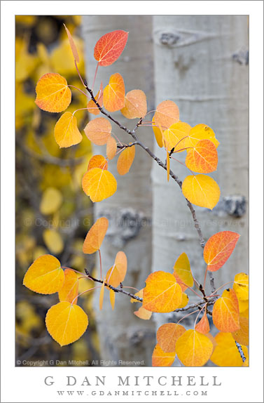 Aspen Leaves, North Lake - Colorful autumn aspen leaves at North Lake, California